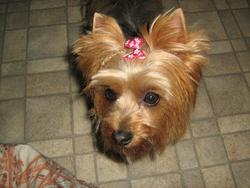 Barbie, chien Yorkshire Terrier