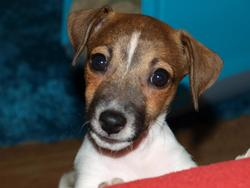 Barby, chien Jack Russell Terrier