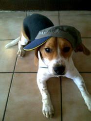 Barnabé, chien Beagle