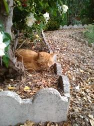 Barnabé, chat Européen