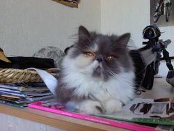 Barnabé Du Gralou Noir, chat Persan