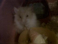 Barney, rongeur Hamster