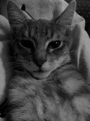 Barney, chat Européen