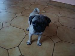 Barney, chien Carlin