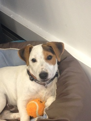Barney, chien Jack Russell Terrier