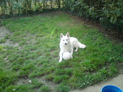 Baron, chien Berger blanc suisse