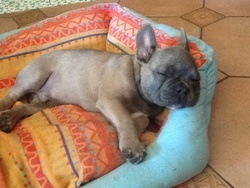 Baron , chien Bulldog