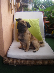 Barry, chien Carlin