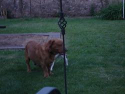 Barry, chien Labrador Retriever
