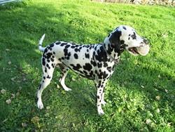 Barry, chien Dalmatien