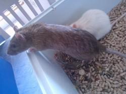 Bart Dcd, rongeur Rat
