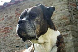 Bart, chien Boxer