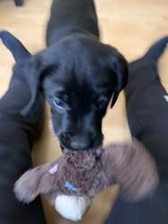 Bart, chiot Labrador Retriever