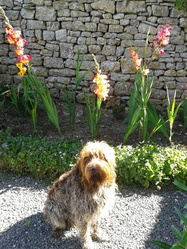 Basco, chien Griffon à poil dur Korthals