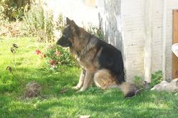 Basco, chien Berger allemand