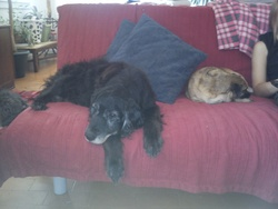 Basile, chien Springer anglais
