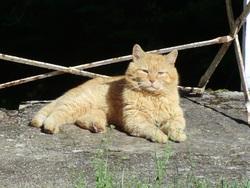 Basile, chat Européen