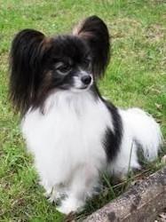 Basilic, chien Épagneul nain continental