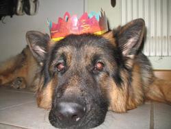 Basta, chien Berger allemand
