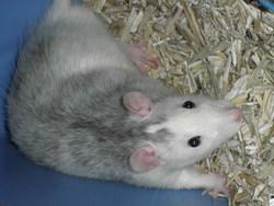 Bastos, rongeur Rat