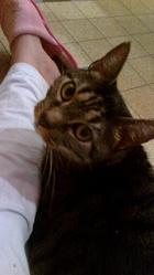 Bastos, chat Européen