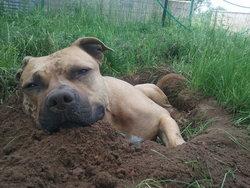 Bastos, chien American Staffordshire Terrier