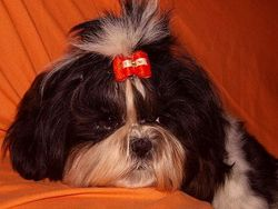 Bastye, chien Shih Tzu