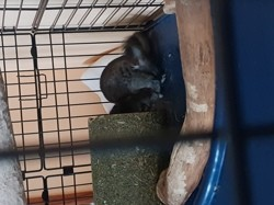 Batman, rongeur Chinchilla