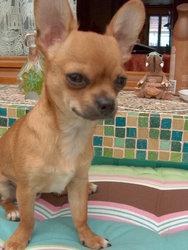 Gatsby, chien Chihuahua