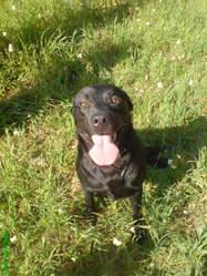 Baxter, chien Labrador Retriever