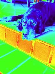 Baxter, chien Setter Gordon