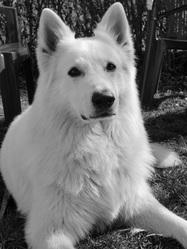 Baxter, chien Berger blanc suisse