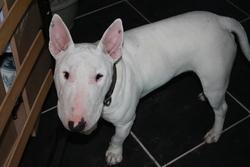 Baxter, chien Bull Terrier