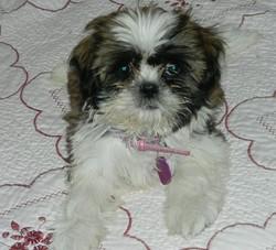 Baya, chien Shih Tzu