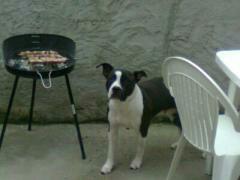 Baya, chien American Staffordshire Terrier