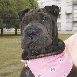 Baya, chien Shar Pei