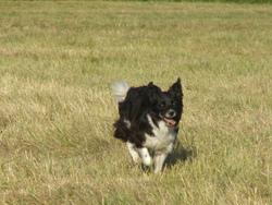 Baya, chien Border Collie