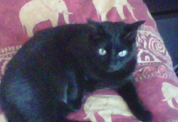 Baya, chat Européen