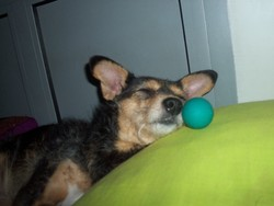 Baya, chien Jack Russell Terrier