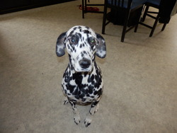 Bayanne, chien Dalmatien