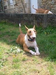 Baya, chien Bull Terrier