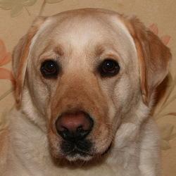 Bayeron, chien Labrador Retriever