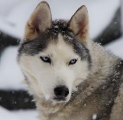 Baykal, chien Husky sibérien