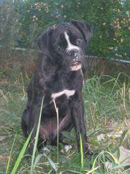 Bayko, chien Boxer