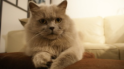 Bayle, chat British Shorthair