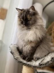 Baylee, chat Sibérien