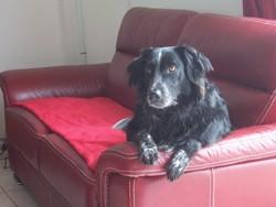 Bazile, chien Border Collie