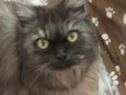 Orphée, chat Persan