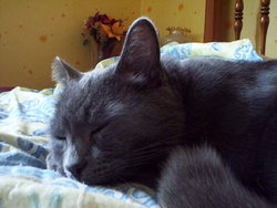 Bandy, chat Chartreux