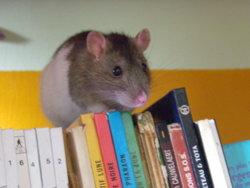 Rosebud Morte, rongeur Rat